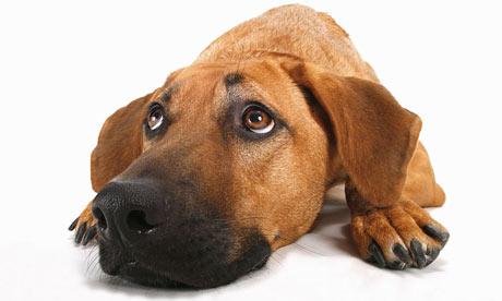 half-breed-dog---lying----001.jpg